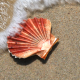 Scallop Shell Red Color - VideoHive Item for Sale
