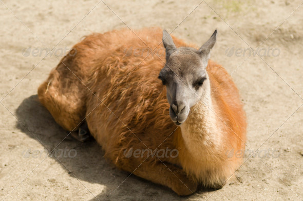 Young lama - Stock Photo - Images