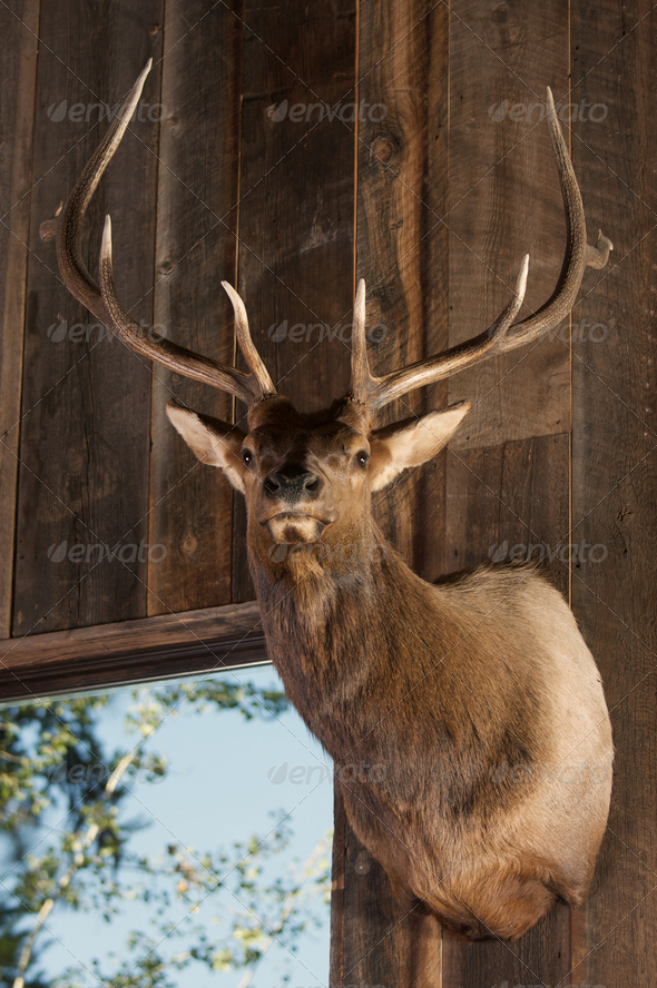 Mounted Stag Head - Stock Photo - Images