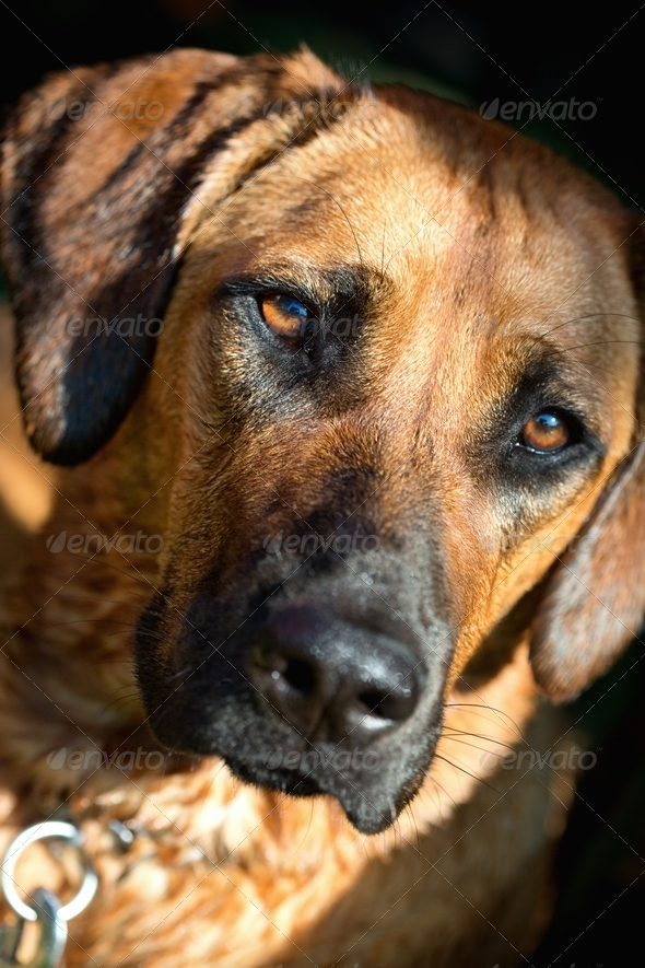 Rhodesian ridgeback dog - Stock Photo - Images