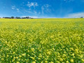 rape field sky and farm - PhotoDune Item for Sale