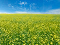 rape field and sky - PhotoDune Item for Sale