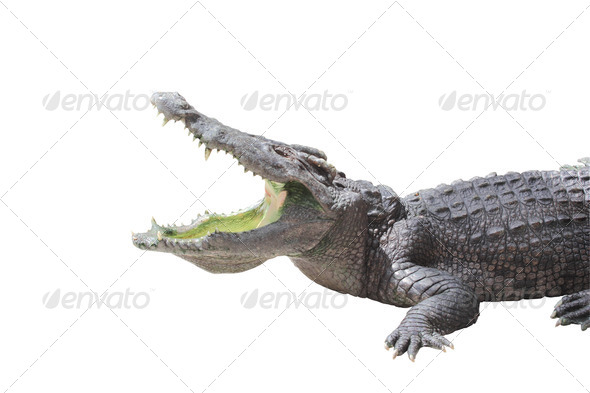 Alligator - Stock Photo - Images