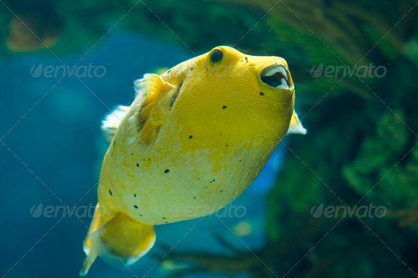 Golden Pufferfish - Stock Photo - Images