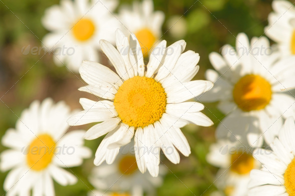 camomiles - Stock Photo - Images