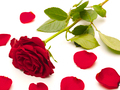 Red rose and rose pettles on a white background - PhotoDune Item for Sale