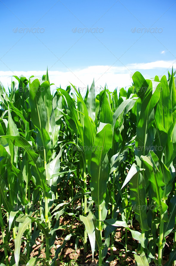 Green corn field at Portugal - Stock Photo - Images