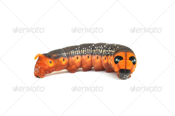 Caterpillar on white with spots and orange face - Stock Photo - Images