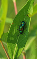 Blue Milkweed Beetles - PhotoDune Item for Sale