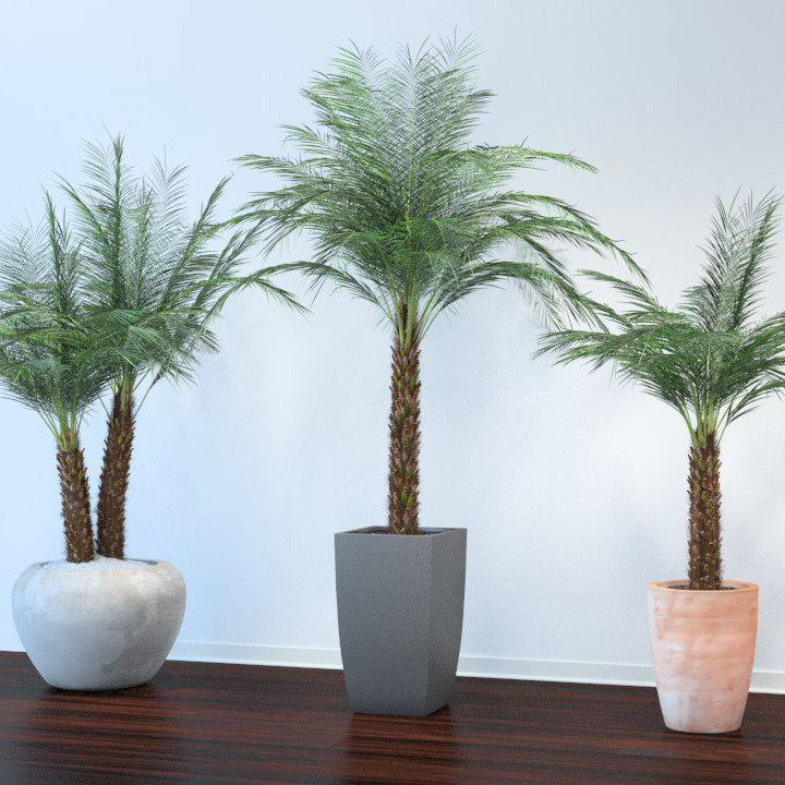 Phoenix Palm  - 3DOcean Item for Sale