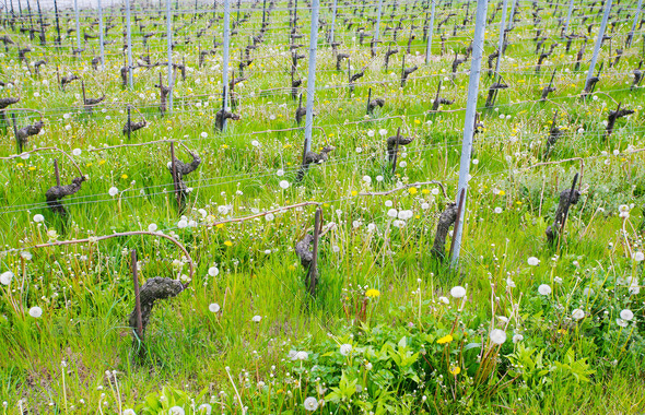 Close view of vineyards - Stock Photo - Images