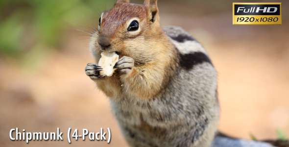 Chipmunk 4-Pack