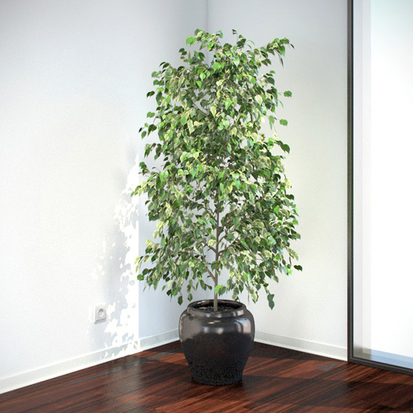 Ficus Benjamina - 3DOcean Item for Sale