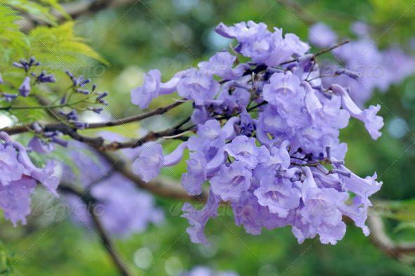 Jacaranda Mimosifolia - Stock Photo - Images
