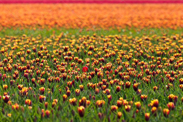 Dutch flower field with colorful tulips - Stock Photo - Images
