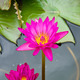 Two Pink lotus - PhotoDune Item for Sale