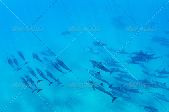 Dolphins Underwater - Stock Photo - Images