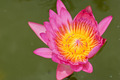 pink lotus in thailand - PhotoDune Item for Sale