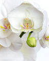 white orchid - PhotoDune Item for Sale