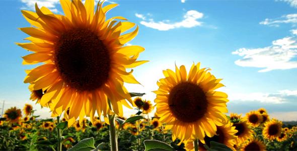 VideoHive Flowering Sunflowers 2631192