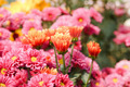 pink chrysanthemum flowers - PhotoDune Item for Sale
