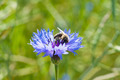 Honey bee and cornflower close-up - PhotoDune Item for Sale