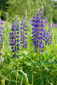 Lupin flowers (genus Lupinus) - PhotoDune Item for Sale