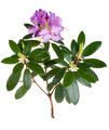 Pink rhododendron, azalea - PhotoDune Item for Sale