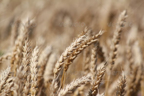 Golden wheat - Stock Photo - Images