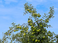 Apple Tree Top - PhotoDune Item for Sale