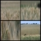 Wheat Field 3 Pack - VideoHive Item for Sale