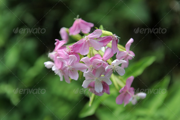 Soapwort ,Saponaria officinalis - Stock Photo - Images