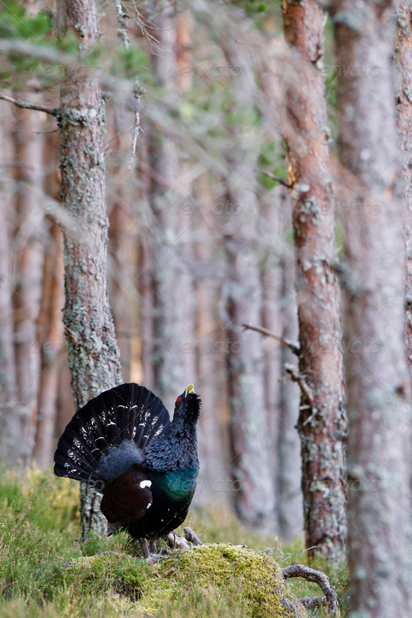 Capercaillie Tetrao urogallus adult male displaying - Stock Photo - Images