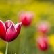 Bright red tulip - PhotoDune Item for Sale