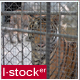 Tiger In Zoo - VideoHive Item for Sale