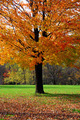 Maple Tree - PhotoDune Item for Sale