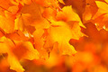 Fall Maple Leaves - PhotoDune Item for Sale