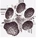 jaguarus