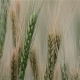 Wheat Field 4 - VideoHive Item for Sale