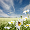Oxeye Daisies - PhotoDune Item for Sale