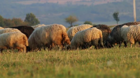 Download Flock Of Sheep Grazing In A Mountain Valley nulled download