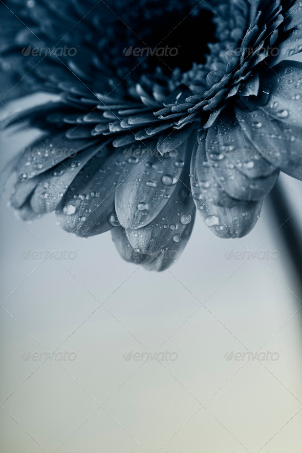 gerbera flower - Stock Photo - Images