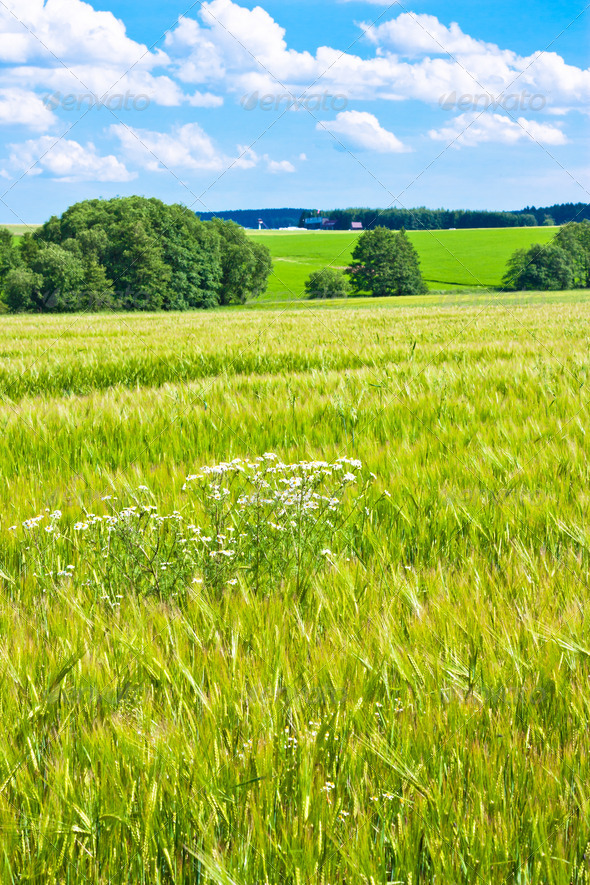Barleycorn field - Stock Photo - Images