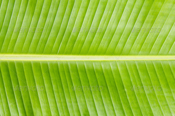 Banana leaf texture - Stock Photo - Images