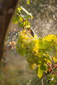 Watering grapes artificial rain - PhotoDune Item for Sale