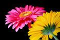 Gerber Flowers - PhotoDune Item for Sale