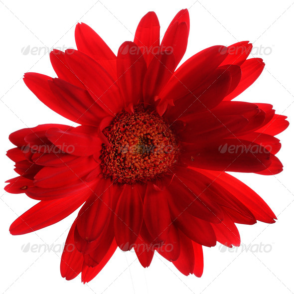 Beautiful red gerbera on the white - Stock Photo - Images