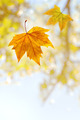 Falling Leaf - PhotoDune Item for Sale