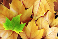 Dry Fall Leaves - PhotoDune Item for Sale