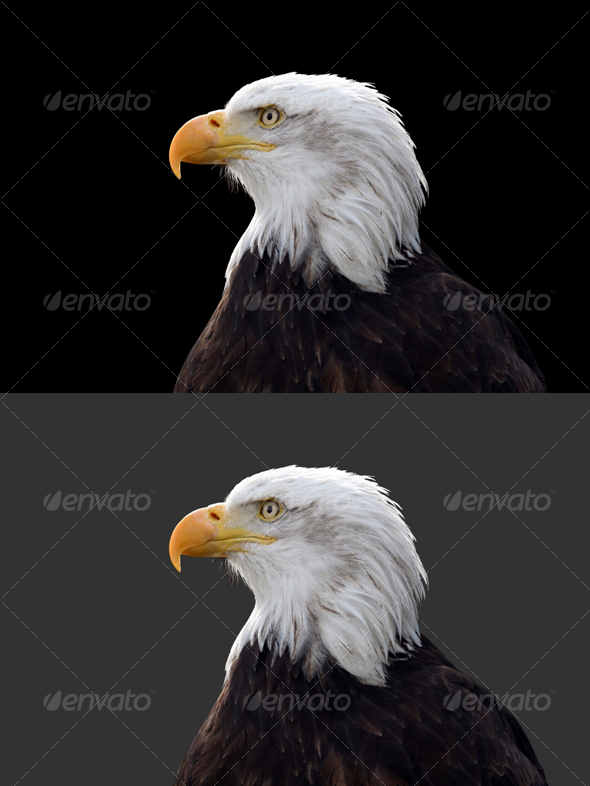 Eagle #1 - Nature & Animals Isolated Objects